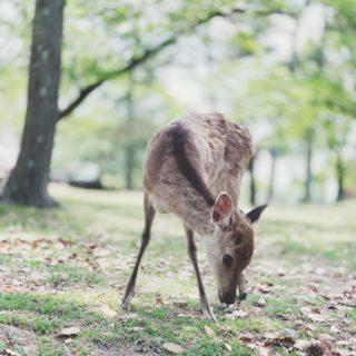 奈良と言えば鹿✨🎼.•*¨*•.¸🎵